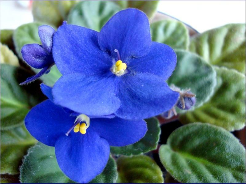Name:  my_blue_violet2.jpg Views: 93 Size:  114.5 KB